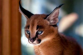 gatto-più-bello-del-mondo-caracals